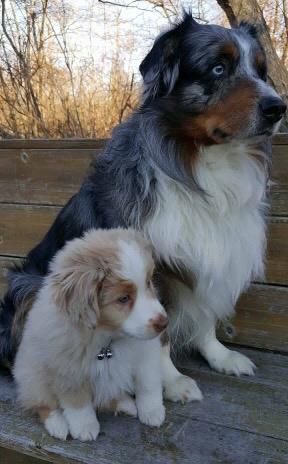 Peach Tree Mini and Toy Australian Shepherds - Past puppies